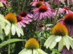 coneflowers in a strangers garden