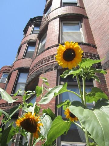 city sunflowers